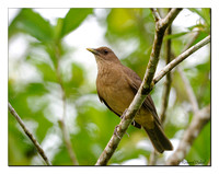 Clay-coloured Robin (Turdus grayi)