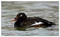 White-winged Scoter (male)