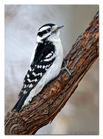 Downy Woodpecker - female (Picoides pubescens)