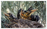 American Robin Chicks - Ready to Fledge