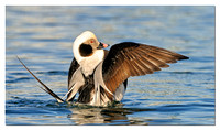 Long-tailed Duck - male (Clangula hyemalis)