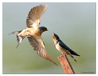 Barn Swallows - Adult & Juvenile