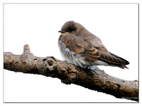 Northern Rough-winged Swallow (Stelgidopteryx serripennis) Juvenile