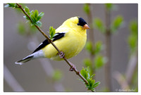 American Goldfinch - male (Spinus tristis)