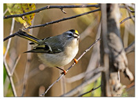 Golden-crowned Kinglet (Regulus satrapa)