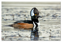 Hooded Merganser - male (Lophodytes cucullatus)