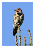 Northern Flicker - Yellow-shafted (Colaptes auratus)