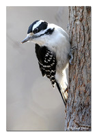 Hairy Woodpecker - female (Picoides villosus)