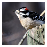 Downy Woodpecker - male (Picoides pubescens)