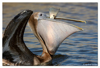 "Brown Pelican (immature) with ""Catch of the Day"" - I believe a Redfish"