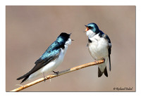 Tree Swallows (Tachycineta bicolor)