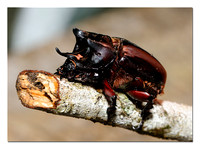 Rhinoceros Beetle (Magasoma sp.)