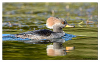 Hooded Merganser - female (Lophodytes cucullatus)