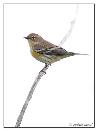 Yellow-rumped Warbler (Dendroica coronata) - Fall Plumage