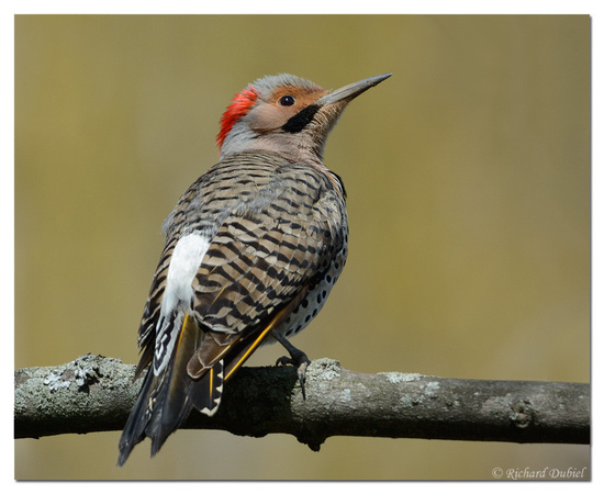Northern Flicker (Yellow-shafted) - male