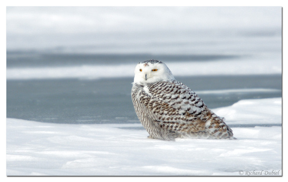 Snowy Owl (Bubo scandiacus) - female or 1st year male